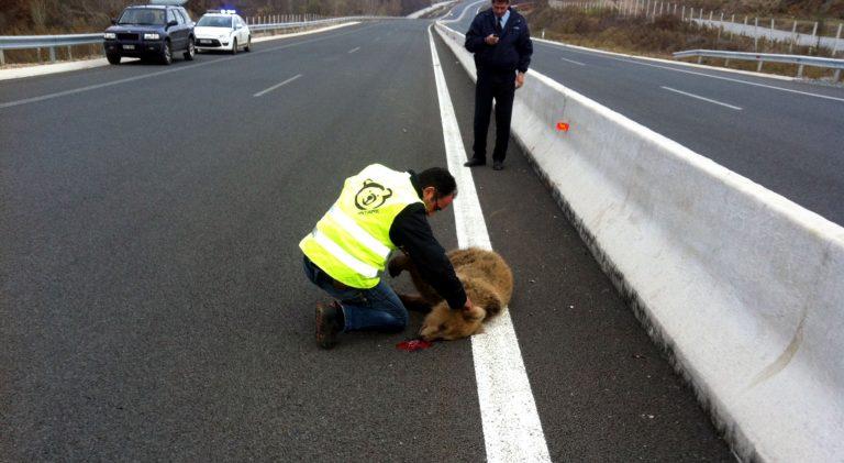 Η πρώτη νεκρή αρκούδα στην Εγνατία – Ο οδηγός εξαφανίστηκε   Newsit.gr