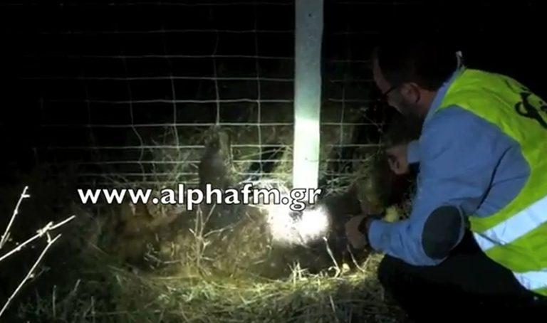 Καστοριά: Οι αγωνιώδεις προσπάθειες για να σωθεί αρκουδάκι – Δείτε το βίντεο! | Newsit.gr
