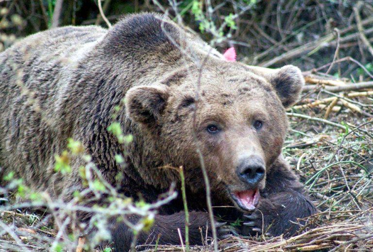 Οι αρκούδες στην Καστοριά παρακολουθούνται στενά | Newsit.gr