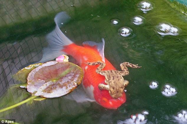 Ο τεμπέλης βάτραχος – Βαριέται τόσο που κάνει τα πάντα στην πλάτη ενός χρυσόψαρου!   Newsit.gr