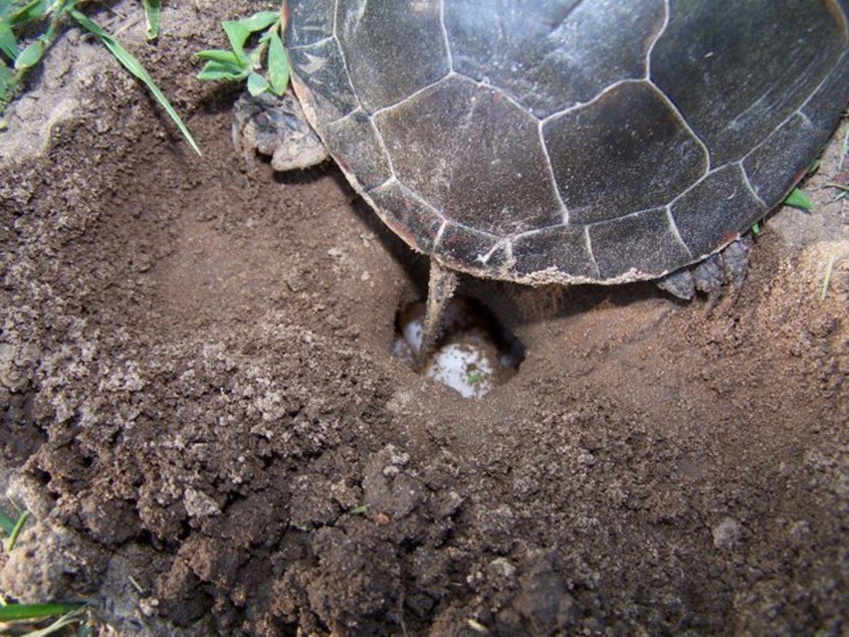 Θα ξεθάψουν,  70.000 αυγά χελωνών,  από τις παραλίες…