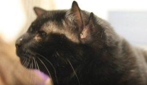 Η γάτα με τα τέσσερα αυτιά υιοθετήθηκε [vid]