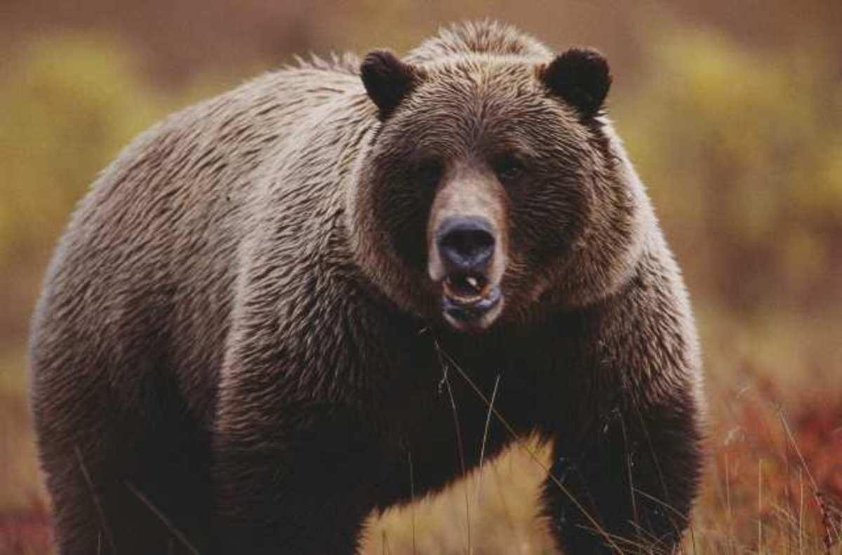 Θα «στέλνουν» SMS οι  αρκούδες !   Newsit.gr
