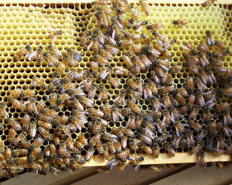 Πέθανε 74χρονη όταν της επιτέθηκε σμήνος μελισσών | Newsit.gr