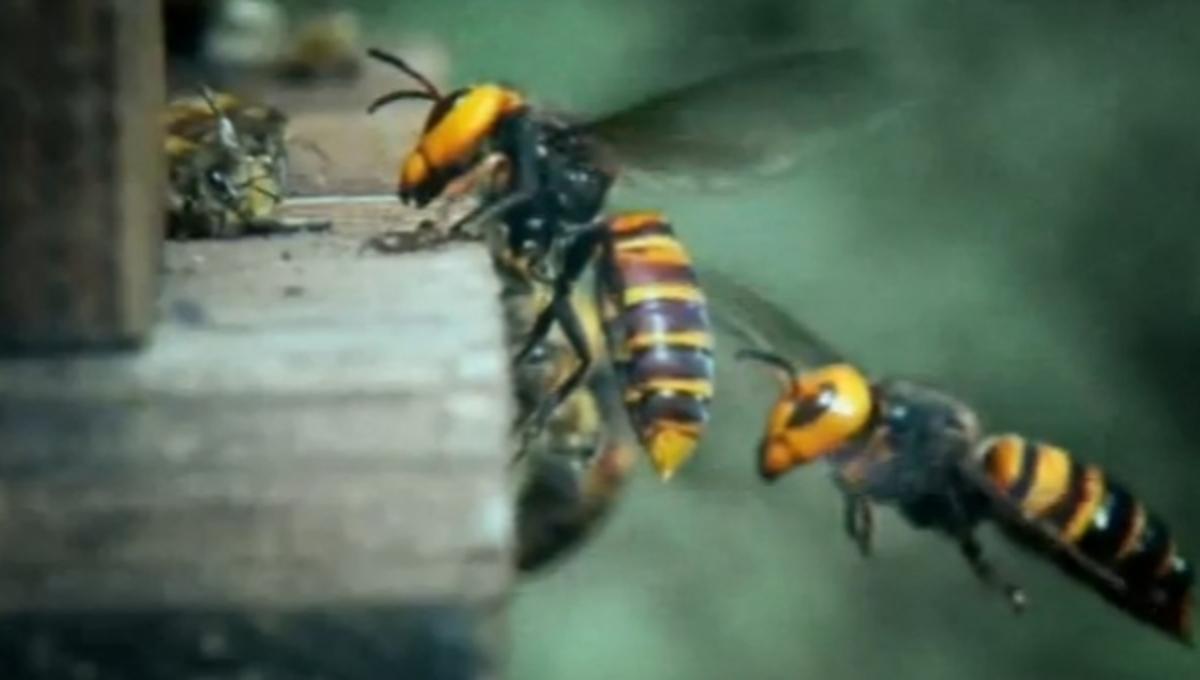 Πως 30 σφήκες εξολοθρεύουν 30.000 μέλισσες- ΒΙΝΤΕΟ | Newsit.gr