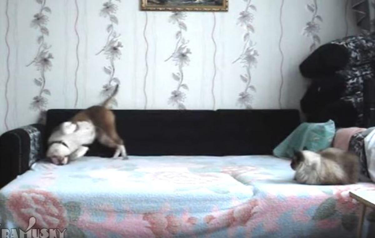 Απαγορεύεται να κάτσει πάνω στον καναπέ αλλά όταν φύγει το αφεντικό, τού δίνει και καταλαβαίνει! [vid] | Newsit.gr