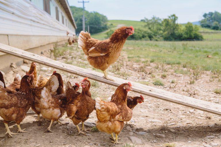 Οι αρχές της Σουηδίας σφάζουν 200.000 κοτόπουλα λόγω γρίπης!