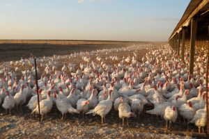 Γρίπη των πτηνών: Θανατώνουν εκατοντάδες χιλιάδες πουλερικά στην Ιαπωνία!