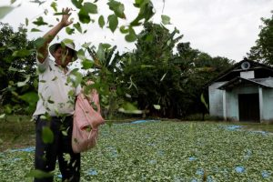 Βολιβία: Διπλασιάζουν την έκταση όπου επιτρέπεται η καλλιέργεια κόκας!