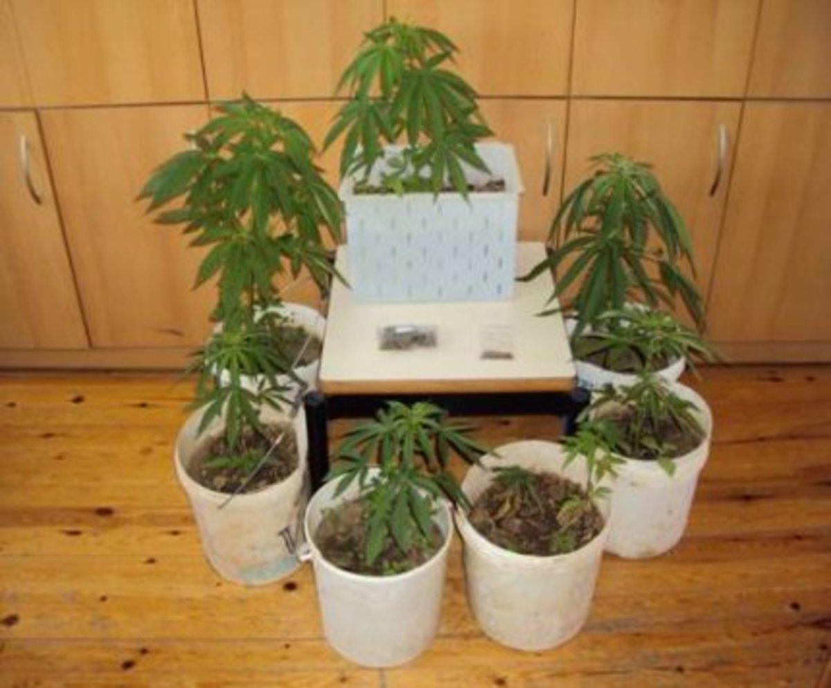 Ρέθυμνο: Φύτεψε και καλλιεργούσε ναρκωτικά στην αυλή του! | Newsit.gr