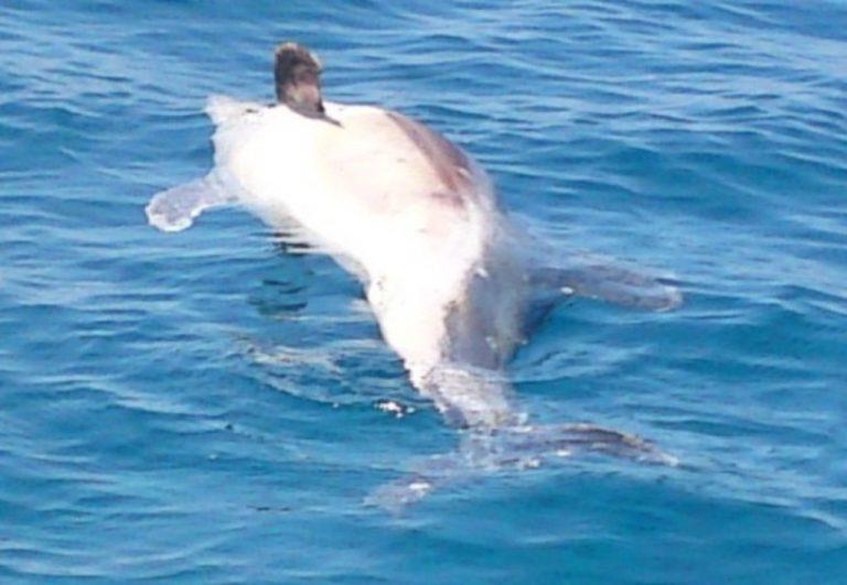 Τρία νεκρά νεαρά δελφίνια κοντά στη παραλία του Αγίου Ζαχαρία | Newsit.gr