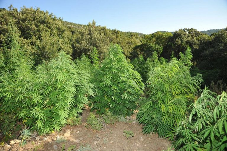 Νέα φυτεία απο 107 χασισόδεντρα στο Ηράκλειο! | Newsit.gr