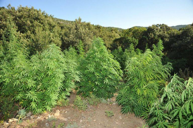 Χασισόδεντρα τεσσέρων μέτρων στο Ρέθυμνο!   Newsit.gr