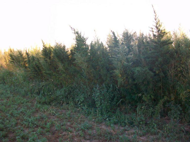 Το ελληνικό χωριό που φυτρώνουν μόνα τους… χασισόδεντρα – ΦΩΤΟ   Newsit.gr