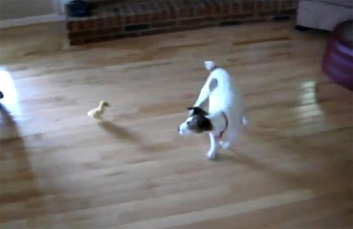 Έγινε και αυτό! Σκύλος φοβάται ένα μικρό παπάκι! | Newsit.gr