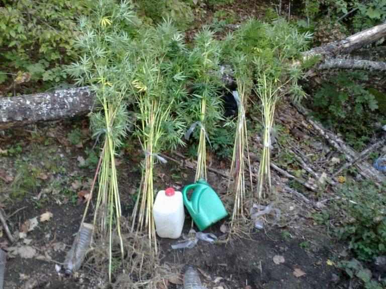 Δράμα: Βρήκαν τη φυτεία, ψάχνουν τους καλλιεργητές   Newsit.gr