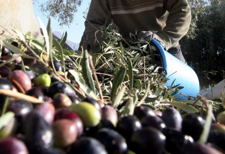 Λέσβος: Βούλγαρος έκλεψε δύο τόνους ελιές! | Newsit.gr