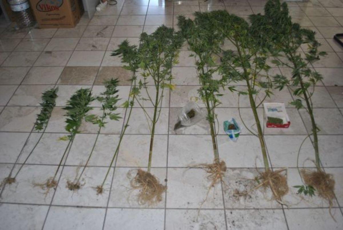 Φθιώτιδα: Είχε στον κήπο του… χασισόδεντρα | Newsit.gr