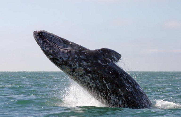 Μια φάλαινα έχασε τον…δρόμο της!   Newsit.gr