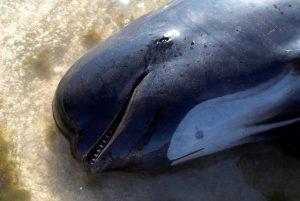 Νέα Ζηλανδία: Ακόμη 200 φάλαινες «ξεβράστηκαν» [pics]