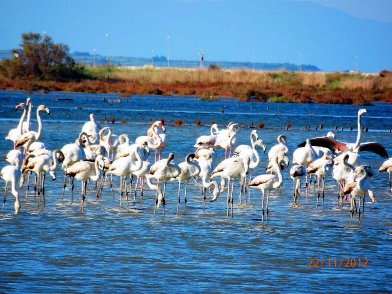 Κοτύχι Λεχαινών: Πανέμορφες εικόνες από τα φλαμίνγκο στη λιμνοθάλασσα   Newsit.gr