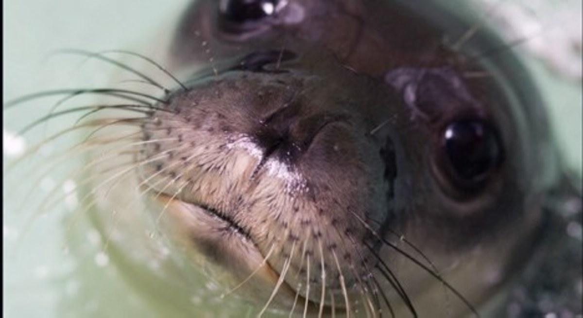 Εύβοια: Δεν τα κατάφερε,  η τραυματισμένη  φώκια…   Newsit.gr