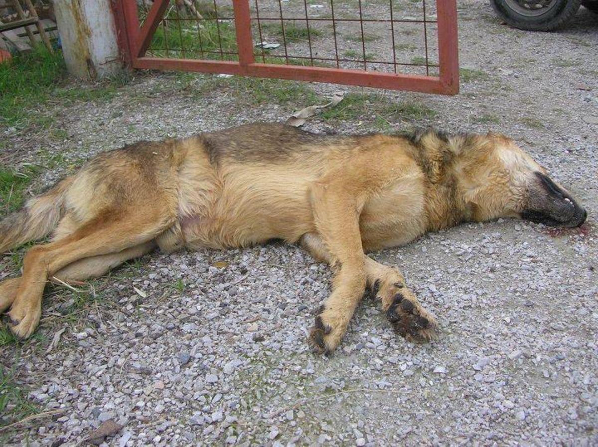 Ντροπή! Δηλητηρίασαν 20 σκυλιά μέσα σε ιδιωτικό καταφύγιο | Newsit.gr