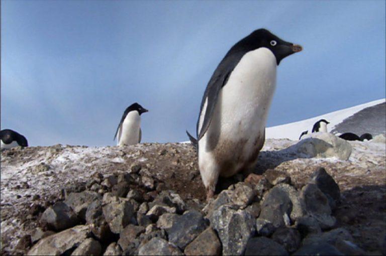 Ο πιγκουίνος που έκλεβε… πέτρες! Δείτε το βίντεο | Newsit.gr
