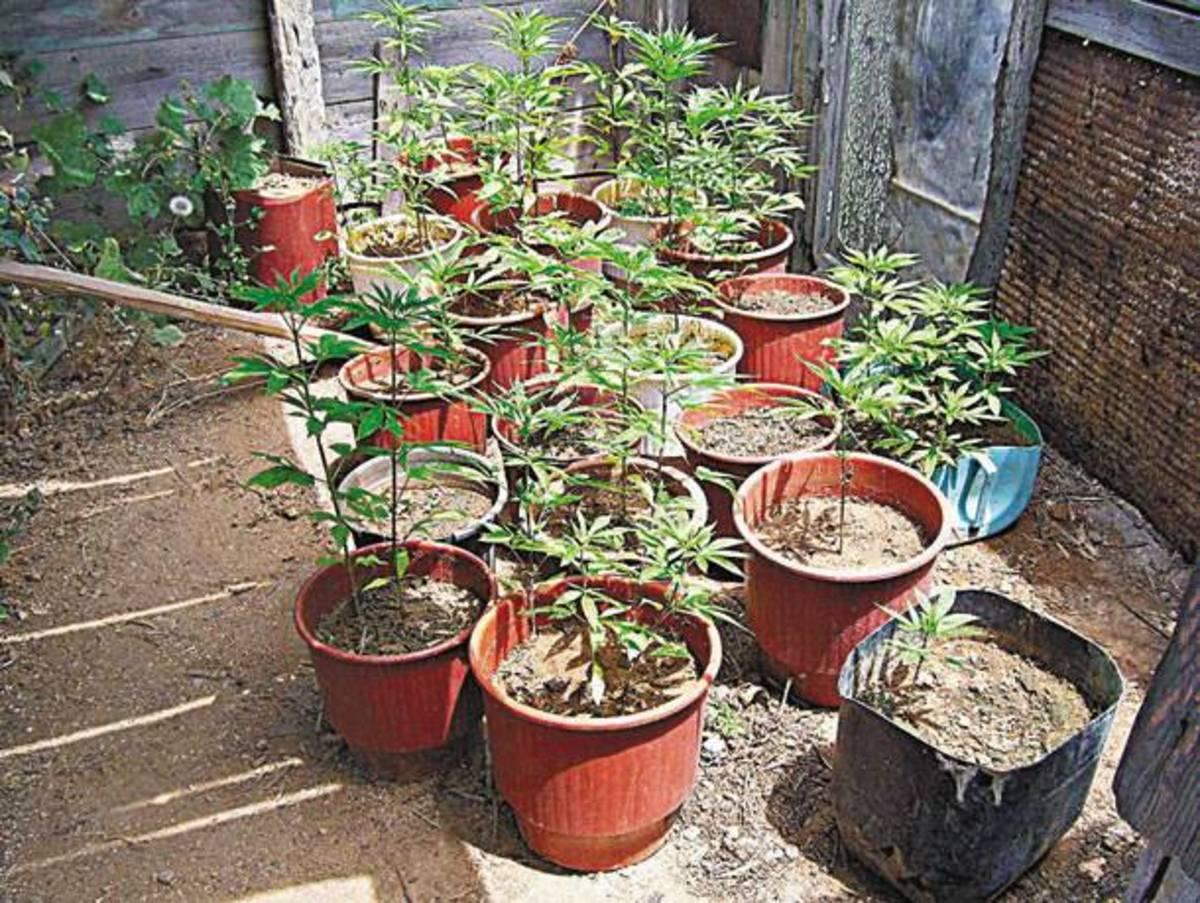 Κήπος με… χασίς στην Πέλλα | Newsit.gr