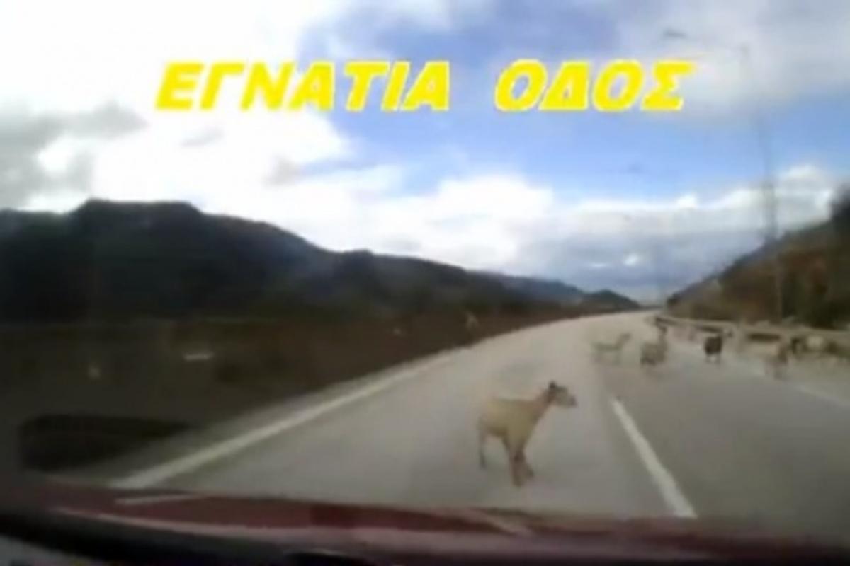 Μπήκαν τα γίδια… στην Εγνατία! ΒΙΝΤΕΟ | Newsit.gr