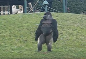 Γνωρίστε τον γορίλα Ambam που περπατά σαν άνθρωπος! [vid]