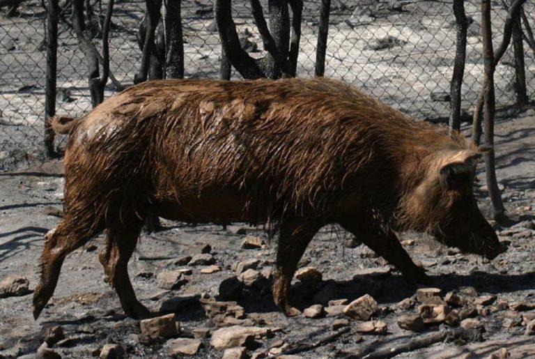 Τρίκαλα: Αγριογούρουνα κάνουν βόλτες σε χωριά | Newsit.gr