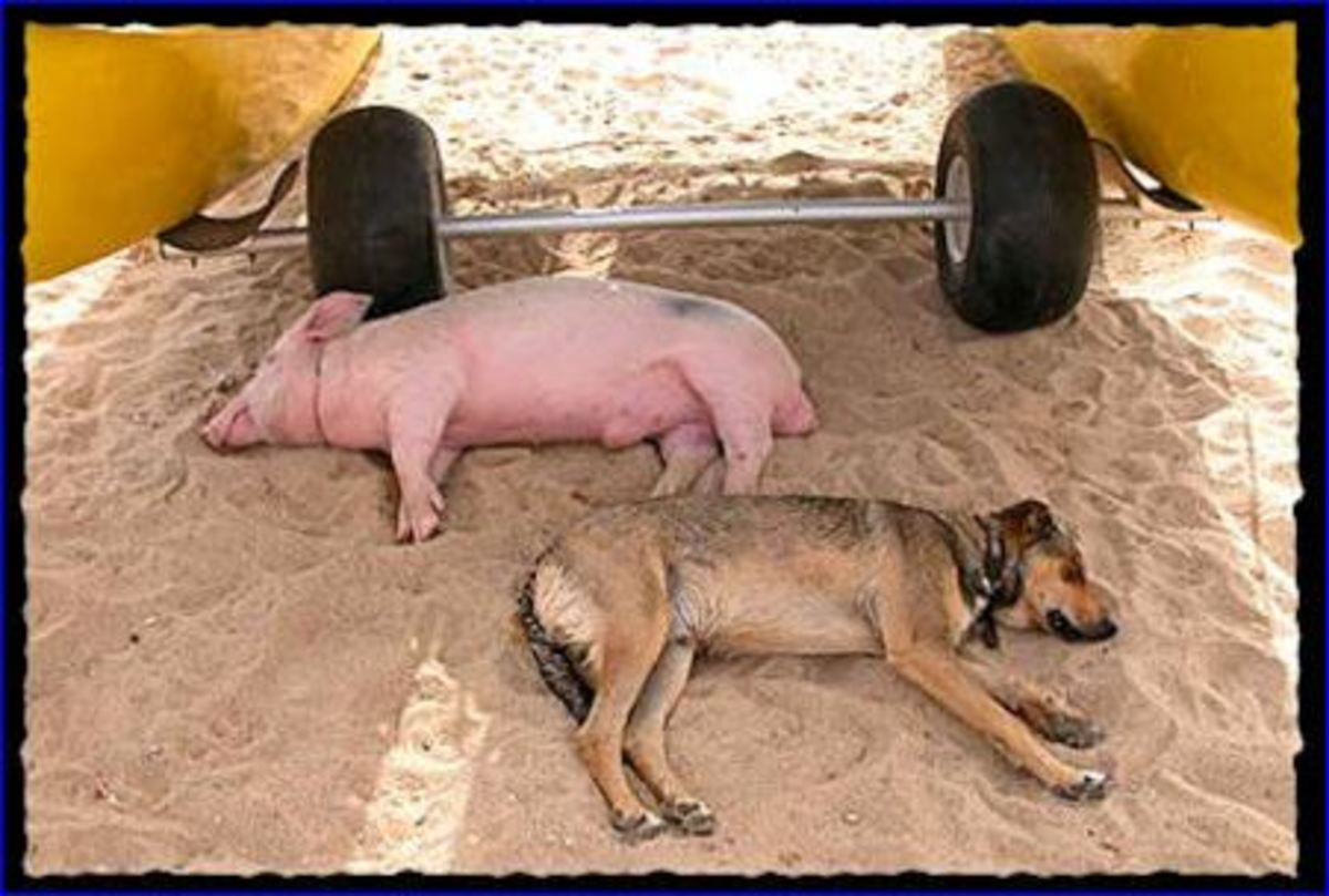 Μυτιλήνη: Αεροπλάνο έκανε κύκλους μέχρι ο σκύλος να πιάσει το γουρούνι! | Newsit.gr