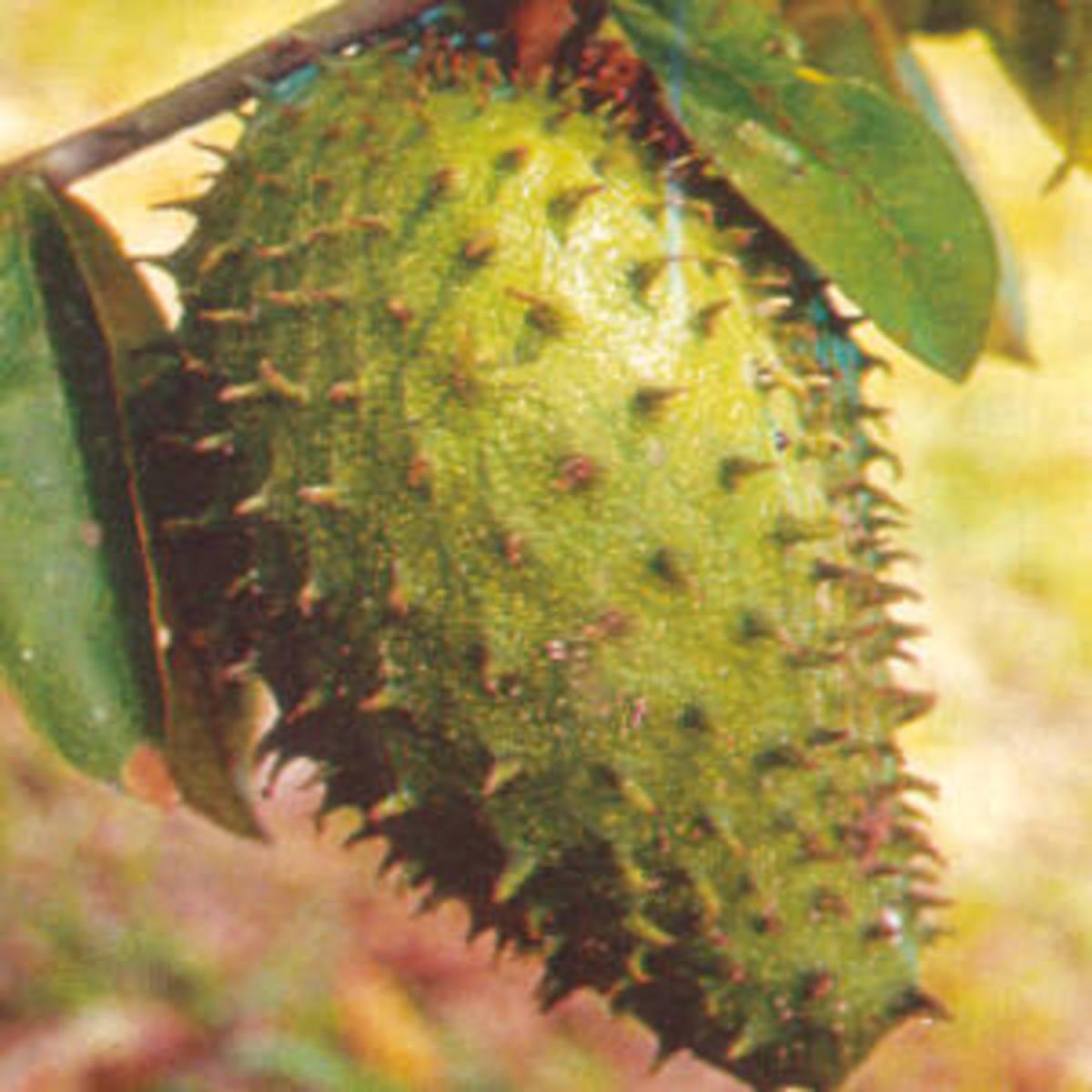 Η Graviola, το φυτό ελιξίριο του Αμαζονίου με αντικαρκινικές ιδιότητες | Newsit.gr