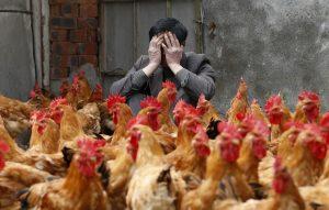 Γαλλία: Εντολή για μαζική σφαγή παπιών και χηνών λόγω της γρίπης των πτηνών