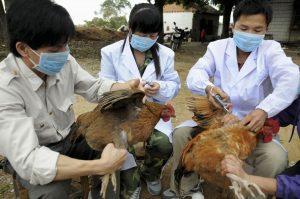 Θανάτωσαν 190.000 πάπιες εξαιτίας της γρίπης των πτηνών