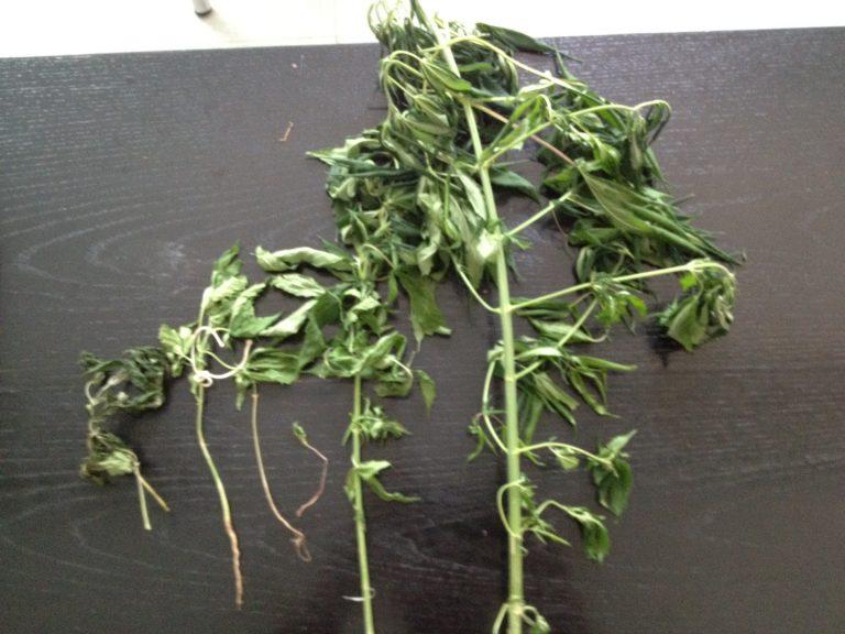 Ξάνθη: Καλλιεργούσε χασίς σε γλάστρες!   Newsit.gr