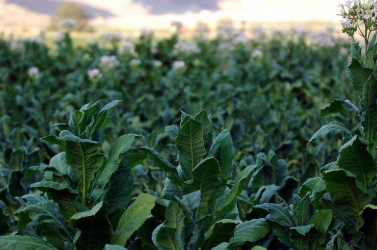 Ξάνθη: Κλέβουν καπνό από τα χωράφια για να φτιάξουν… τσιγάρα! | Newsit.gr