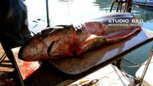 """Γέμισε καρχαρίες ο Αργολικός Κόλπος! """"Γουρλομάτης"""" στα δίχτυα ψαρά στη Νέα Κίο [pics, vid]"""