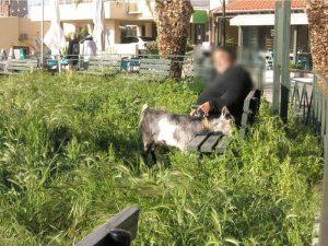 Χανιά: Απίθανο τρολάρισμα στον δήμο με δεμένη κατσίκα – Οι φωτογραφίες που σαρώνουν το διαδίκτυο [pics]