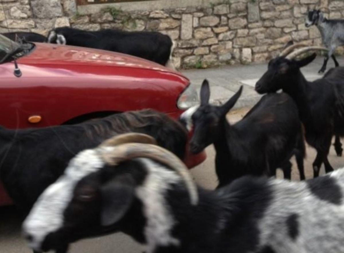 Ποια παρουσιάστρια περικύκλωσαν κατσίκες; | Newsit.gr