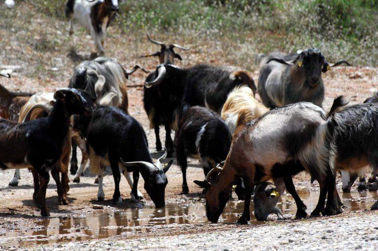 Ρέθυμνο: Άνοιξαν πυρ σε κοπάδι με κατσίκες! | Newsit.gr