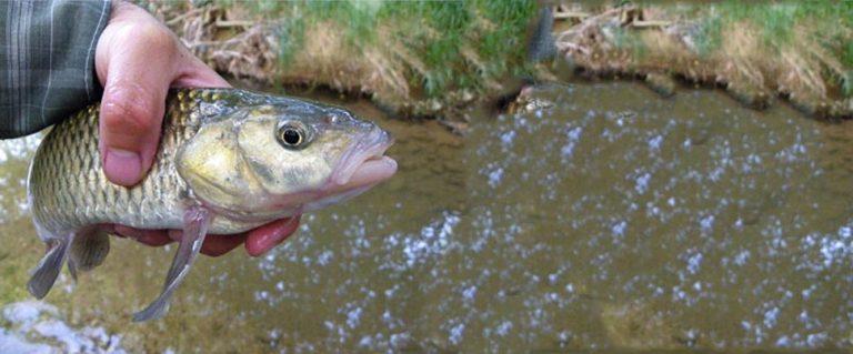 Βρέθηκε ψάρι 31 εκατοστά,  στον Κηφισό !   Newsit.gr
