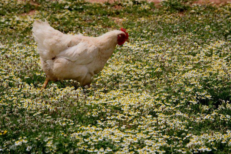 Η κότα το 'σκασε… στην Εγνατία! | Newsit.gr