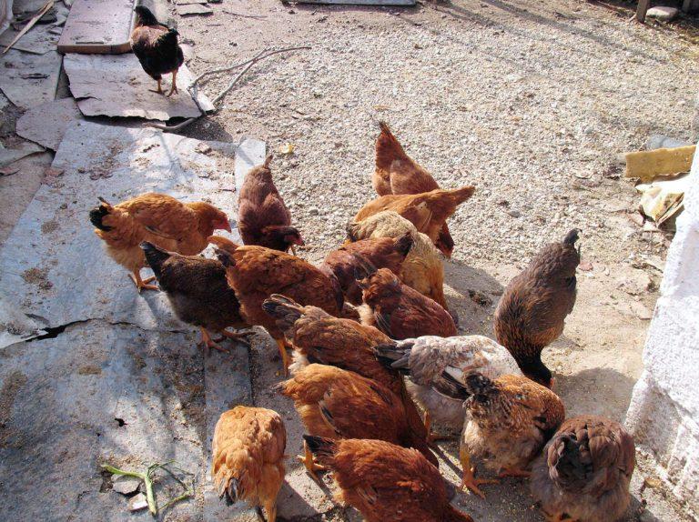 Ηλεία: Έκλεψαν κοτόπουλα αλλά και το φούρνο για να τα μαγειρέψουν! | Newsit.gr