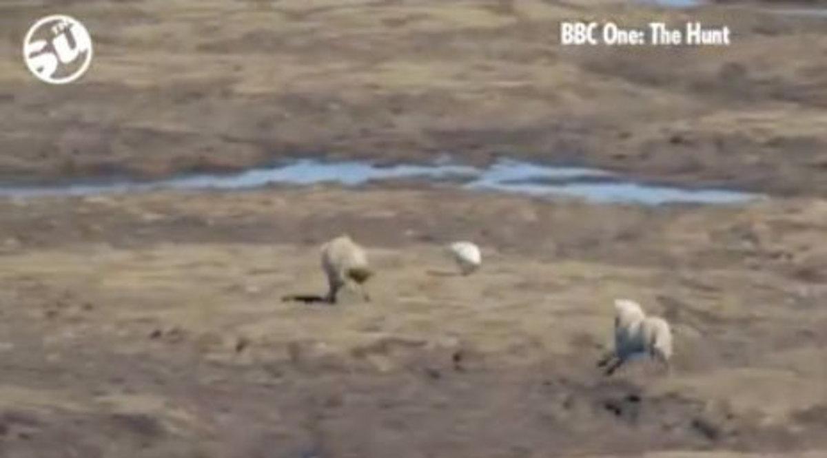 Ο λαγός που έκανε… χαζούς δυο λύκους! Εκπληκτικό video | Newsit.gr