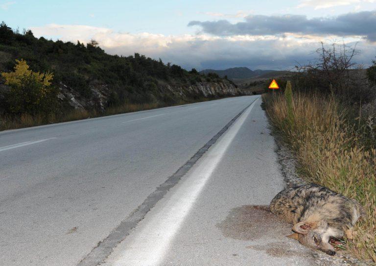 Τρίτος νεκρός λύκος σε τροχαίο το 2012 στη Φλώρινα   Newsit.gr