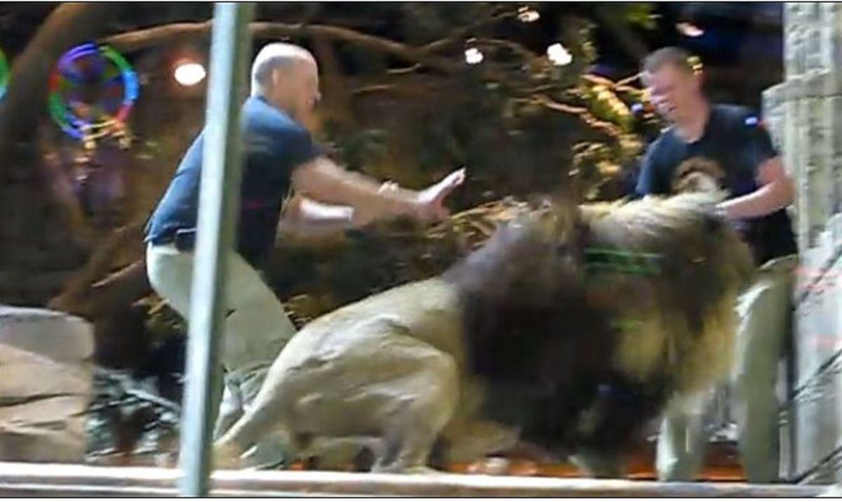 Λιοντάρι επιτέθηκε στον εκπαιδευτή του – Δείτε το βίντεο   Newsit.gr