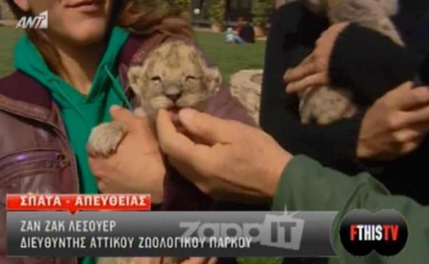 Γνωρίστε το νεογέννητο αβάπτιστο λιονταράκι του Αττικού Πάρκου   Newsit.gr