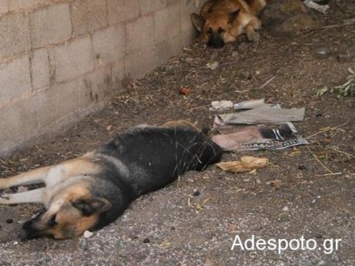 Κορωπί: Σκύλος έμεινε να θρηνεί δίπλα στη νεκρή από φόλα φίλη του | Newsit.gr